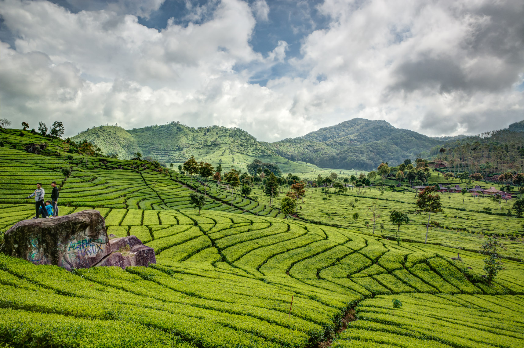 Indonesian Tea Field