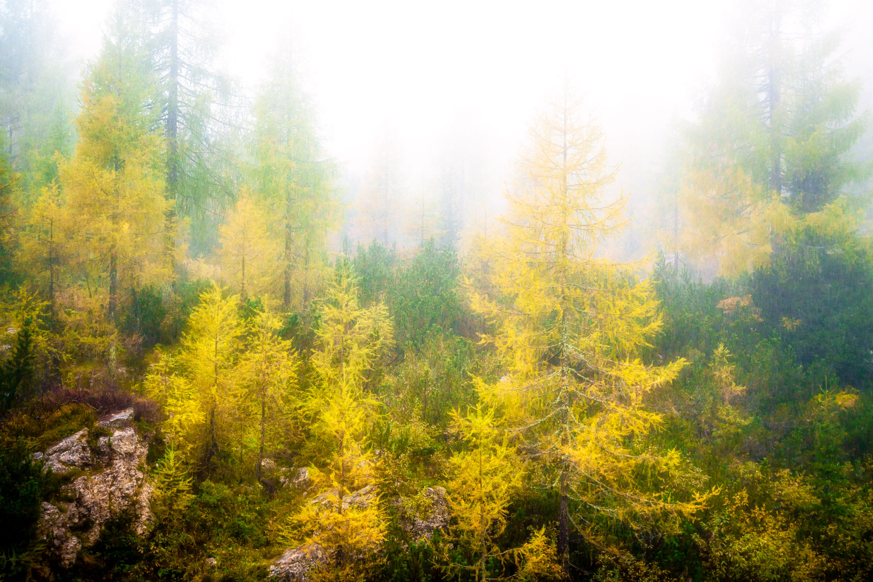 Mystical Larch